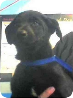 Labrador Retriever Mix Puppy for adoption in San Diego, California - PICKLE