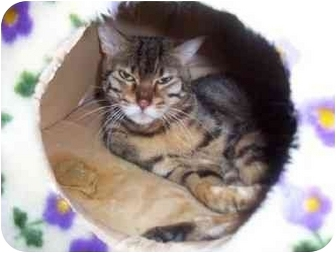 Bengal Cat for adoption in San Diego/North County, California - Jasmine
