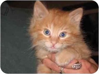 Domestic Longhair Kitten for adoption in Mason City, Iowa - Punkin