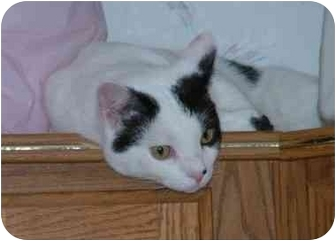 Domestic Mediumhair Cat for adoption in Sheboygan, Wisconsin - Patches