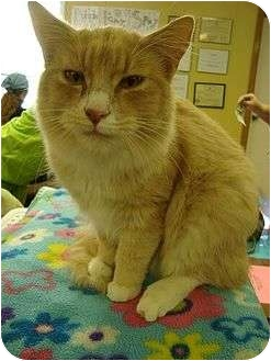 Domestic Mediumhair Cat for adoption in Harrisonburg, Virginia - Buffarooni