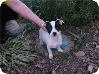 Jack Russell Terrier Mix Puppy for adoption in Bedminster, New Jersey - Mikey