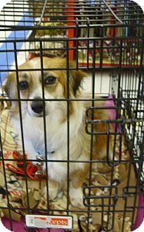 Sheltie, Shetland Sheepdog/Welsh Corgi Mix Dog for adoption in Lomita, California - Cricket