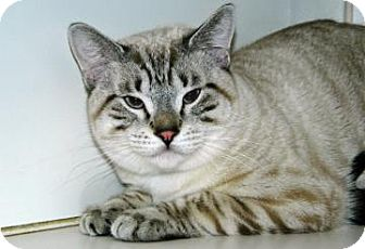 Siamese Cat for adoption in Cheyenne, Wyoming - Telous