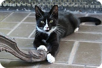 Domestic Shorthair Kitten for adoption in Homestead, Florida - Calvin - Frances
