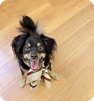 Chihuahua/Spaniel (Unknown Type) Mix Dog for adoption in Santa Monica, California - Cheech
