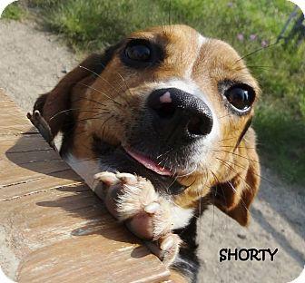 Beagle Mix Dog for adoption in Lapeer, Michigan - SHORTY---FUN-LOVING BEAGLE!