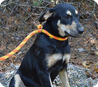 Shepherd (Unknown Type) Mix Dog for adoption in Henderson, North Carolina - Baby