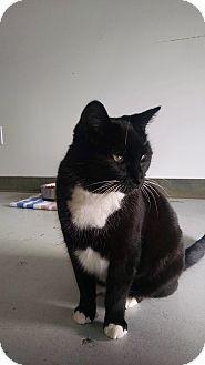 Domestic Shorthair Cat for adoption in Diamond Springs, California - Lila