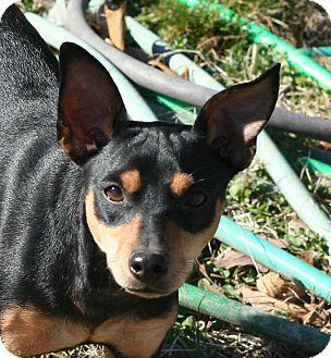 Miniature Pinscher Dog for adoption in Melbourne, Arkansas - Dobie