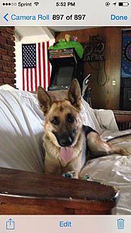 German Shepherd Dog Dog for adoption in Studio City, California - Arte