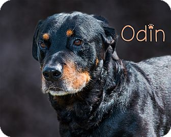 Rottweiler Mix Dog for adoption in Somerset, Pennsylvania - Oden