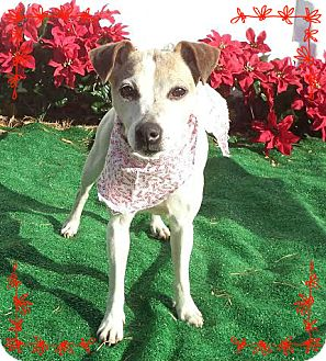 Jack Russell Terrier Dog for adoption in Marietta, Georgia - JESSE (R)