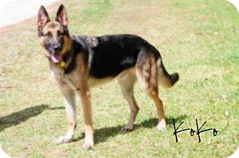 German Shepherd Dog Dog for adoption in Middleburg, Florida - Koko