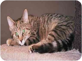 Domestic Shorthair Kitten for adoption in cincinnati, Ohio - LAP CAT Ginger