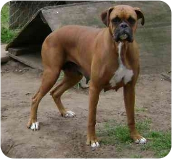 Boxer Dog for adoption in Wauseon, Ohio - Morgan