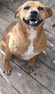 Boxer Mix Dog for adoption in Staunton, Virginia - Trixie