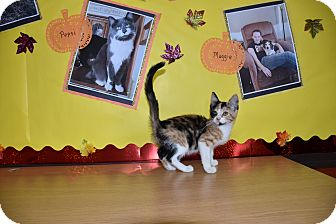 Calico Kitten for adoption in North Judson, Indiana - Spice
