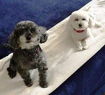 Bichon Frise Mix Dog for adoption in Scottsdale, Arizona - Spike and Lulu