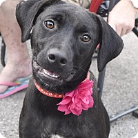 Adopt A Pet :: Marie - Hagerstown, MD