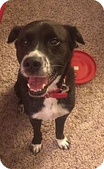 "Border Collie/Labrador Retriever Mix Dog for adoption in Minerva, Ohio - Ollie""i'm ADOPTED"""