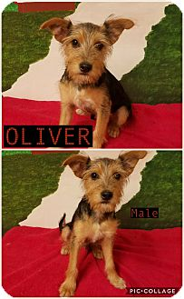 Yorkie, Yorkshire Terrier Mix Puppy for adoption in East Hartford, Connecticut - Oliver pending adoption