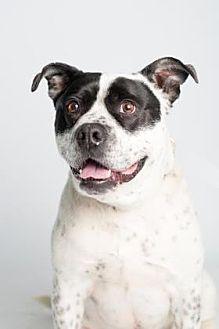 Boxer/Australian Cattle Dog Mix Dog for adoption in Santa Paula, California - Tod