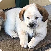 Adopt A Pet :: Albert - Kyle, TX