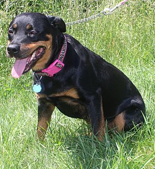 Rottweiler Mix Puppy for adoption in Waldorf, Maryland - Stella
