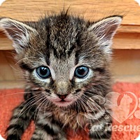 Adopt A Pet :: Wookie - Tucson, AZ