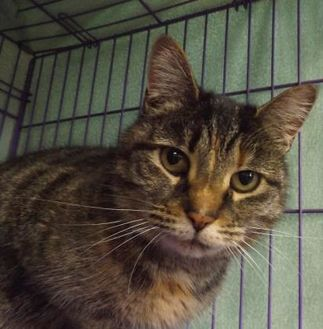 Domestic Shorthair/Domestic Shorthair Mix Cat for adoption in Orleans, Vermont - Olive