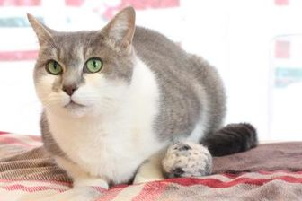 Domestic Shorthair/Domestic Shorthair Mix Cat for adoption in Bristol, Indiana - Lori