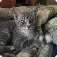 Domestic Shorthair Kitten for adoption in Albany, New York - Bitz