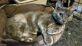 Domestic Shorthair Cat for adoption in Morehead, Kentucky - Raindrop ADULT FEMALE