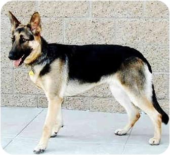 German Shepherd Dog Dog for adoption in Marina del Rey, California - Wanda