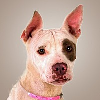 Adopt A Pet :: Pretzel - Prescott, AZ