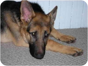 German Shepherd Dog Puppy for adoption in London, Ontario - Storm
