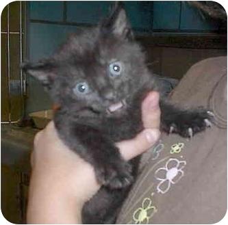 Domestic Shorthair Kitten for adoption in Sacramento, California - Girl Kitten2!