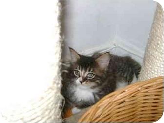 Maine Coon Kitten for adoption in Etobicoke, Ontario - kitten