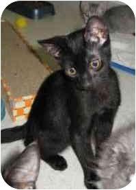 Domestic Shorthair Kitten for adoption in Davis, California - Noodle
