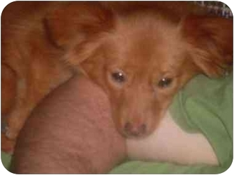 Pomeranian/Chihuahua Mix Puppy for adoption in Foster, Rhode Island - Kay Kay