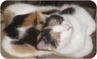 Domestic Shorthair Cat for adoption in Jenkintown, Pennsylvania - Lovely Lily