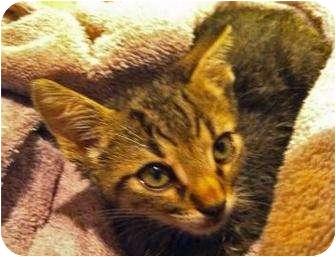 Domestic Shorthair Kitten for adoption in Schertz, Texas - Earl Grey