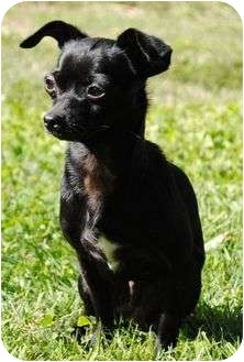 Chihuahua Mix Dog for adoption in P, Maine - Schoshe
