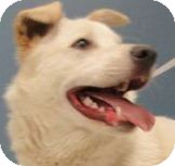Shiba Inu Mix Dog for adoption in Brazil, Indiana - SIMBA