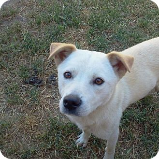 Jindo Mix Puppy for adoption in Apple valley, California - Kanga