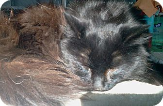 Domestic Longhair Cat for adoption in Sanford, Maine - Buffington