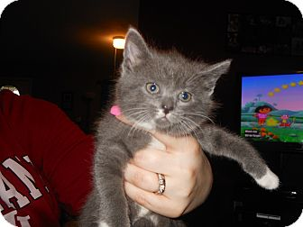 Domestic Shorthair Kitten for adoption in Whiting, Indiana - Stormy