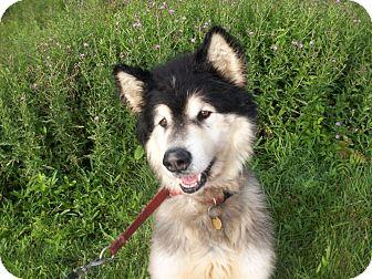 Alaskan Malamute Mix Dog for adoption in Augusta County, Virginia - Valentino