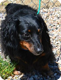 Dachshund Mix Dog for adoption in Fruit Heights, Utah - Tucker